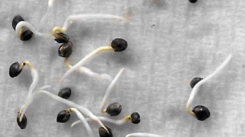 How to germinate seeds in a paper towel?