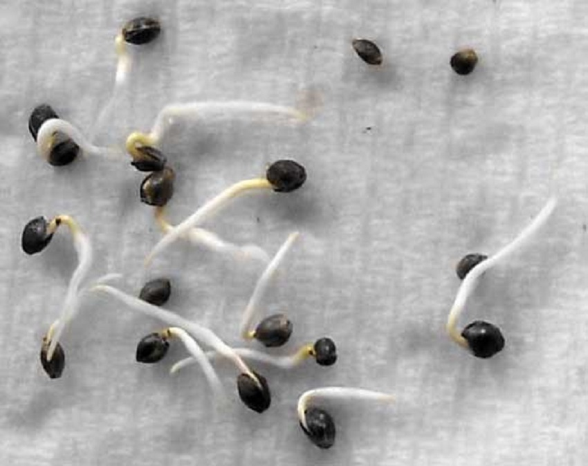 germinate seeds in a paper towel